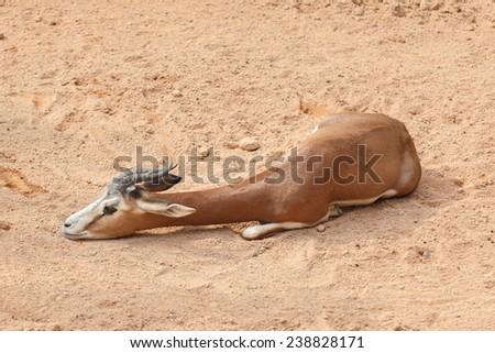 Impala  - stock photo