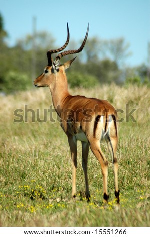 Impala adult male antelope with lyre-shaped horns watching other antelopes and wildlife in a game park in South Africa - stock photo