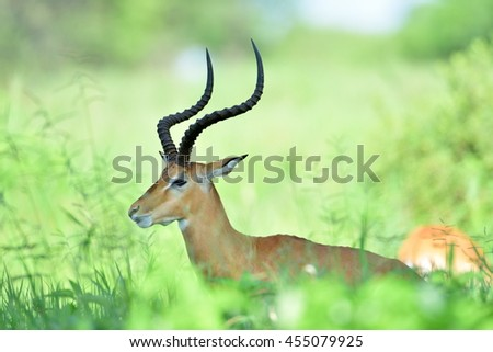 Impala (Aepyceros melampus) in african natural park - stock photo