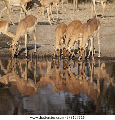 impala (Aepyceros melampus) in Timbavati Nature Reserve, South Africa