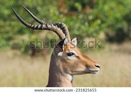 Impala (Aepyceros melampus) ~ South Africa - stock photo