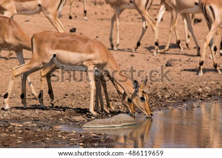 impala African mammal watering hole puddles of kruger national park