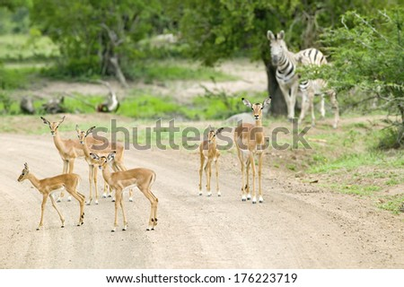 Impala and Zebra on dusty road in Umfolozi Game Reserve, South Africa, established in 1897 - stock photo