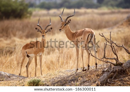 Impala Antelope at Okavango Delta - Moremi National Park in Botswana - stock photo