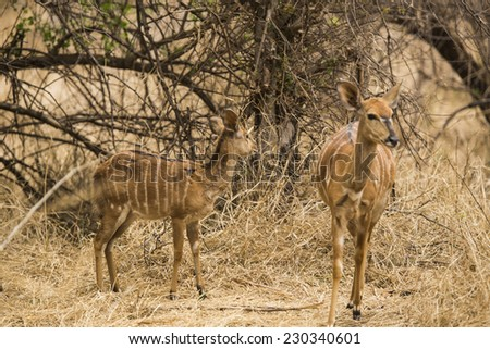 impala antelope in the bushes. South Africa - stock photo