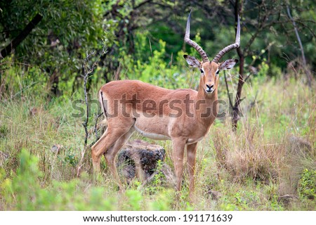 Impala antelope standing in grass - stock photo