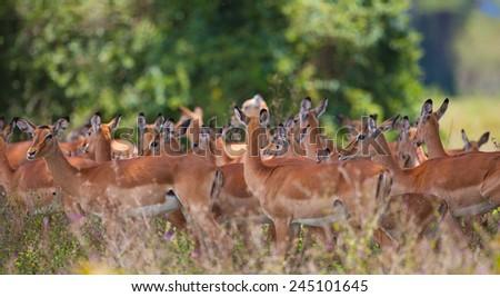 Impala antelopes in Lake Nakuru National Park in Kenya, Africa. The impala (Aepyceros melampus) is a medium-sized African antelope. - stock photo