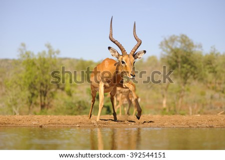 Impala (Apyceros melampus)  Inquisitive youngster.  - stock photo