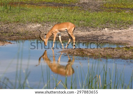 Impala at the Boteti river