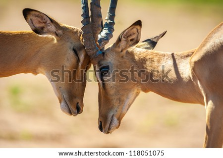 Impala butting heads in Chobe National Park - stock photo