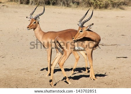Impala, Common  - Wildlife from Africa - Two rams pose for the lens, but still have to time to get a pesky itch.  Photographed on a game ranch in Namibia.