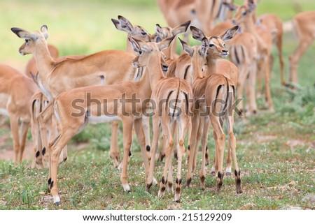 Impala doe caress her new born lamb in the dangerous environment - stock photo