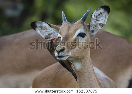 Impala getting a facial by a red-billed oxpecker - stock photo