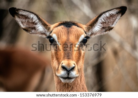 Impala head - stock photo