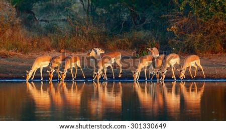 Impala herd (Aepyceros melampus) drinking water - Kruger National park (South Africa) - stock photo