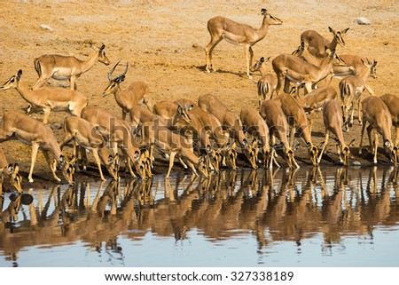 Impala herd drinking at Chudop waterhole in Etosha National Park in Namibia, Africa.