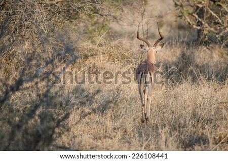 Impala in Kruger Park South Africa - stock photo
