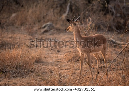impala in south africa