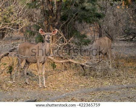 Impala in the African savannah  - stock photo