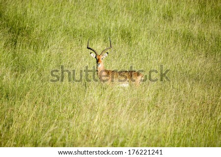 Impala in the middle of green grass of Lewa Wildlife Conservancy, North Kenya, Africa - stock photo