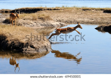 impala jumping over water