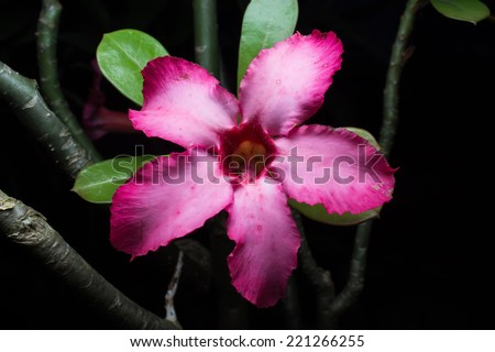 Impala Lily Adenium, Desert Rose or pink flower in Thailand. - stock photo