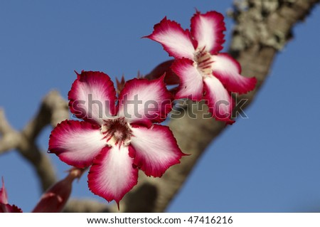Impala lily found almost exclusively in the Kruger National Park - stock photo