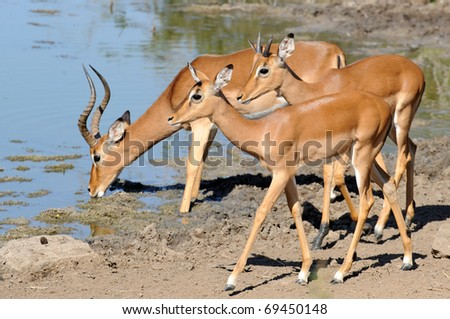 impala male bleating or calling - stock photo