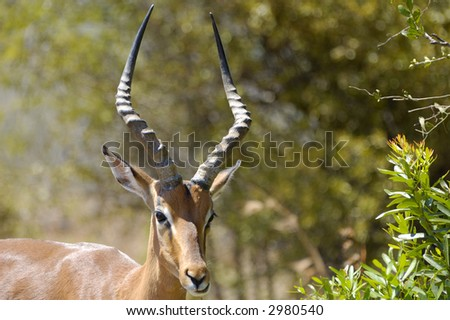 Impala male with big horns - stock photo