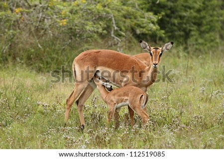 Impala mother watches while the kid drinks. - stock photo