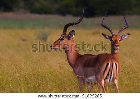 Impala on Wetlands, Tembe Elephant Park, South Africa - stock photo