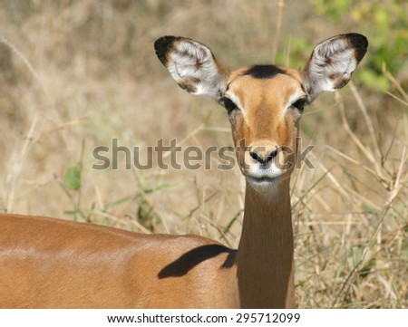 Impala portrait in savanna ambiance in South Africa