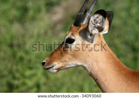 Impala - Serengeti Wildlife Conservation Area, Safari, Tanzania, East Africa