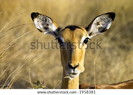 impala with mouth full - stock photo
