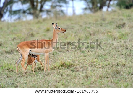 Impala young suckling from it's mother on the grassland in Africa