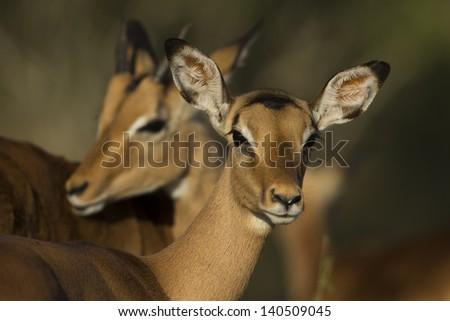 Impalas - stock photo