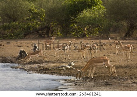 Impalas, baboons and a crocodile,Kruger, South Africa