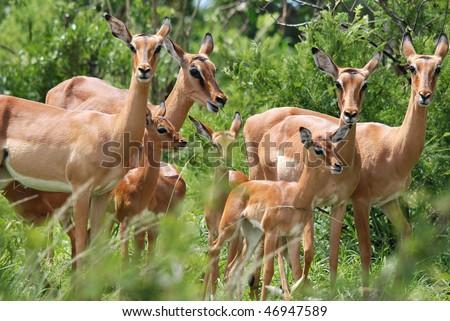 Impalas Hluhluwe-Imfolosi Park South Africa - stock photo