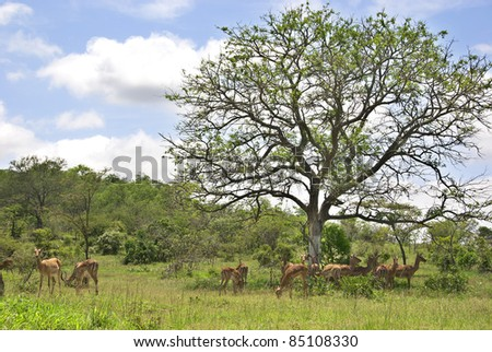 Impalas Hluhluwe-Imfolosi Park South Africa - stock photo