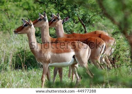 Impalas Hluhluwe imfolozi park South-Africa - stock photo