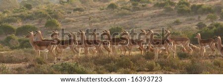 Impalas staring at a lioness just out of view. - stock photo