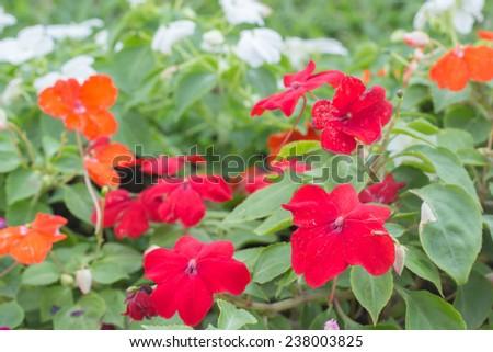 Impatiens blooming in the garden - stock photo