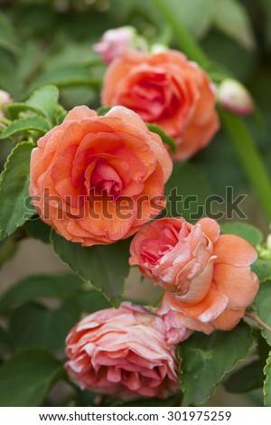 Impatiens Double Stems Pastel Flower - stock photo