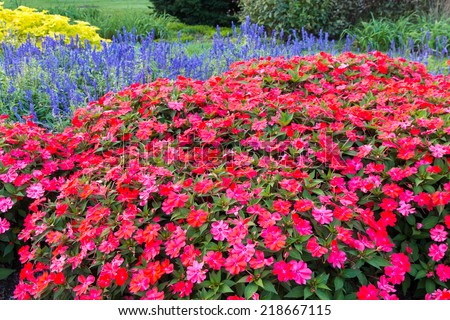 Impatiens flowers are the most popular bedding plants in the United States. selective focus - stock photo