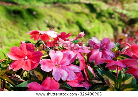 Impatiens flowers on flower bed in the garden - stock photo