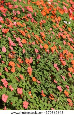 Impatiens walleriana, Busy Lizzie, Balsam, Impatiens, Garden Balsam, Zanzibar Balsam, Patience Plant, Patient Lucy - stock photo