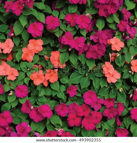 Impatiens Walleriana Sultanii Busy Lizzie Flowers, Large Detailed Vertical Background Pattern, Magenta, Purple, Red, Pink, Divine New Guinea Balsam Sultana, Balsamina Balsaminaceae Flowering Plant Bed