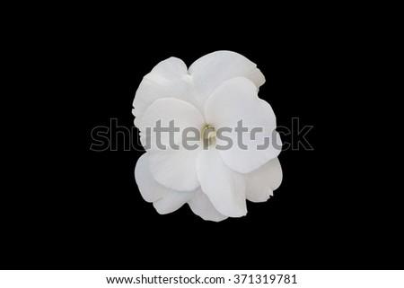 Impatiens walleriana white flower on black background. - stock photo