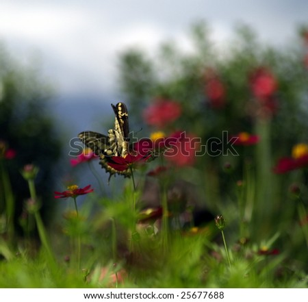 Impending collision of Swordtail Butterflies (Papilio Paeon|), Ometepe Island, Nicaragua - stock photo