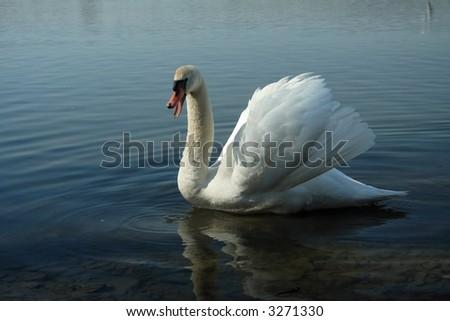 impending ( warning) swan - stock photo